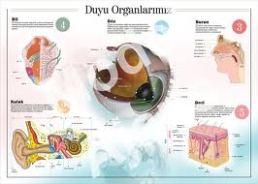 beş duyu organı derinin yapısı , deri , 5 duyu organı , duyu organlarımız , derinin algılaması , ten , insan cildi , cilt , göz , kulak , burun, gözün yapısı , kulağın yapısı , burunun yapısı , kısımları , 5 duyu organlarımız nelerdir , iris , retina, sert tabaka , göz bebeği, göz merceği , hipermetrop nedir, miyop nedir , miyopluk , astigmat , presbitlik, katarakt