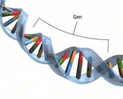 gen nedir gen nerede bulunur genler nerededir