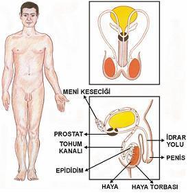 penis nedir testis nedir ereksiyon nedir