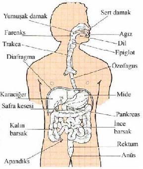 sindirim sistemi resmi