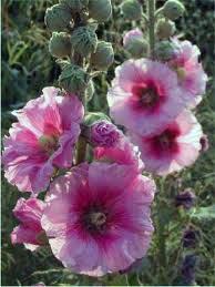 hatçi çiçeği gülhatmi bitkisi hatminin faydaları