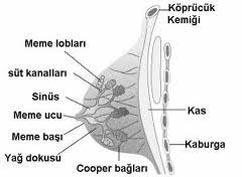 memenin yapısı göğüsün yapısı meme anatomisi göğüs anatomi