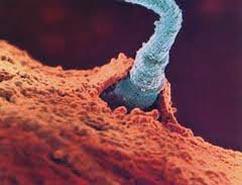 spermin yumurtaya girişi spermin yumurtayı döllemesi