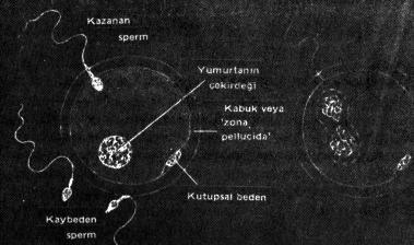 yumurtanın döllenmesi spermin yumurtayı döllemesi