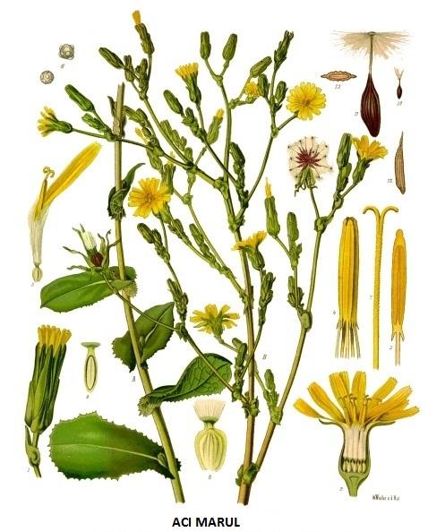 acımarul acı marul bitkisi