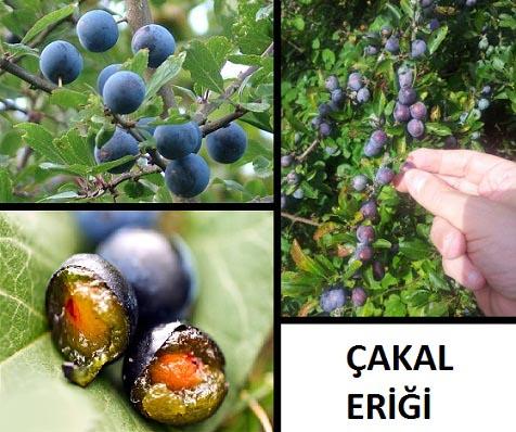 çakal eriği bitkisi ve çakal eriğinin faydaları nelerdir