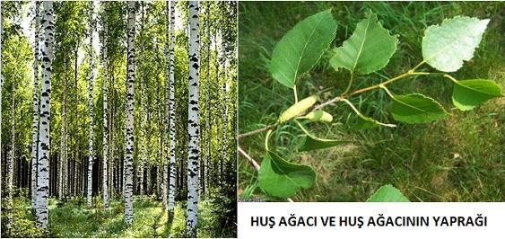 huş ağacı huşağacının faydaları